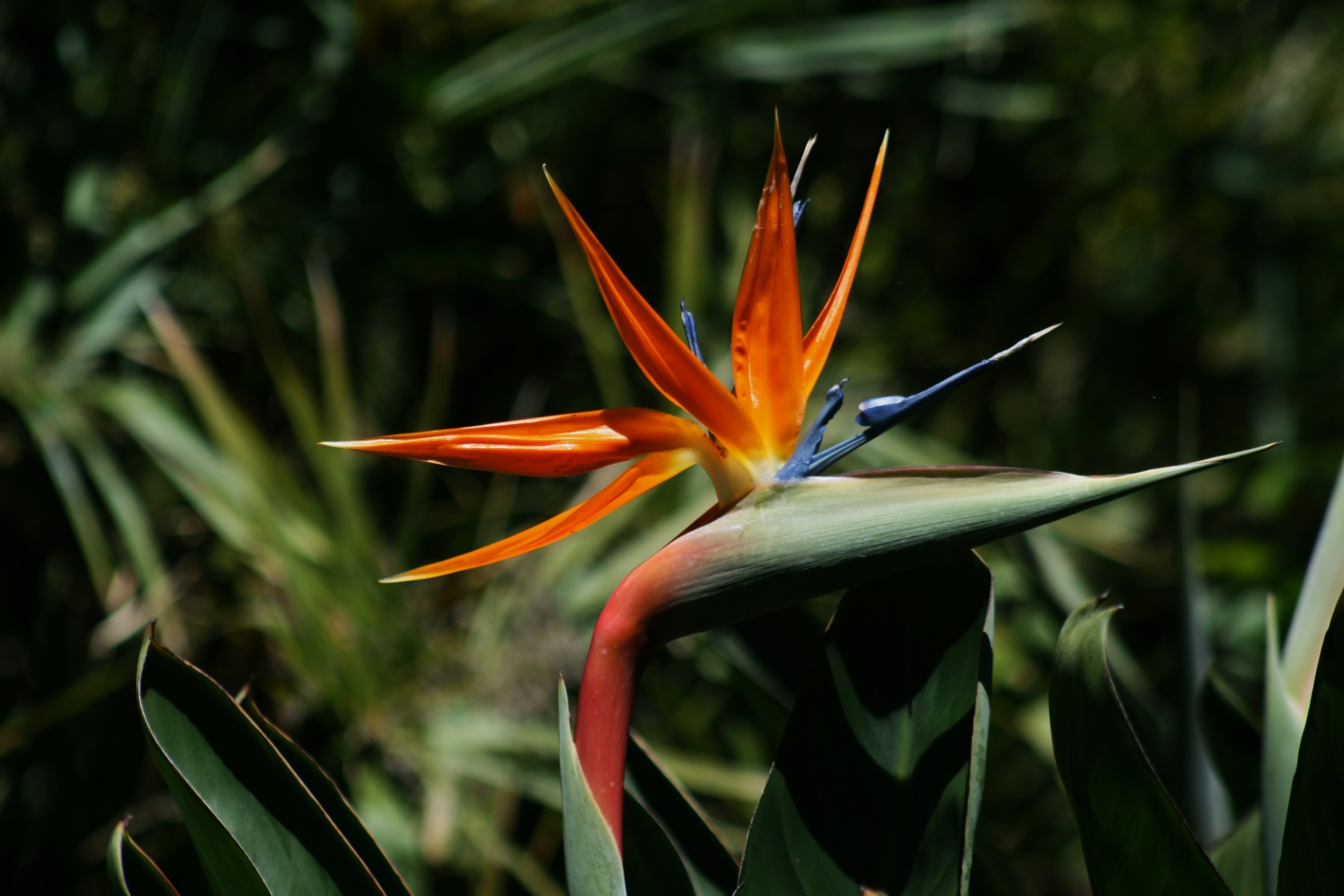 Bird of paradise most beautiful flowers drhid nooralvandi with its unique shape and vibrant colors the bird of paradise is undoubtedly one of the most beautiful flowers present izmirmasajfo Images