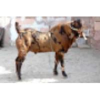 Indian Goat Farm | LinkedIn
