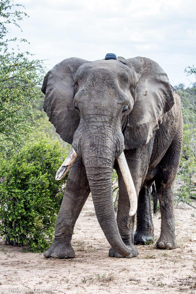 Male ♂ African Bush elephant (Loxodonta africana) Classic (wild) at Kruger National Park